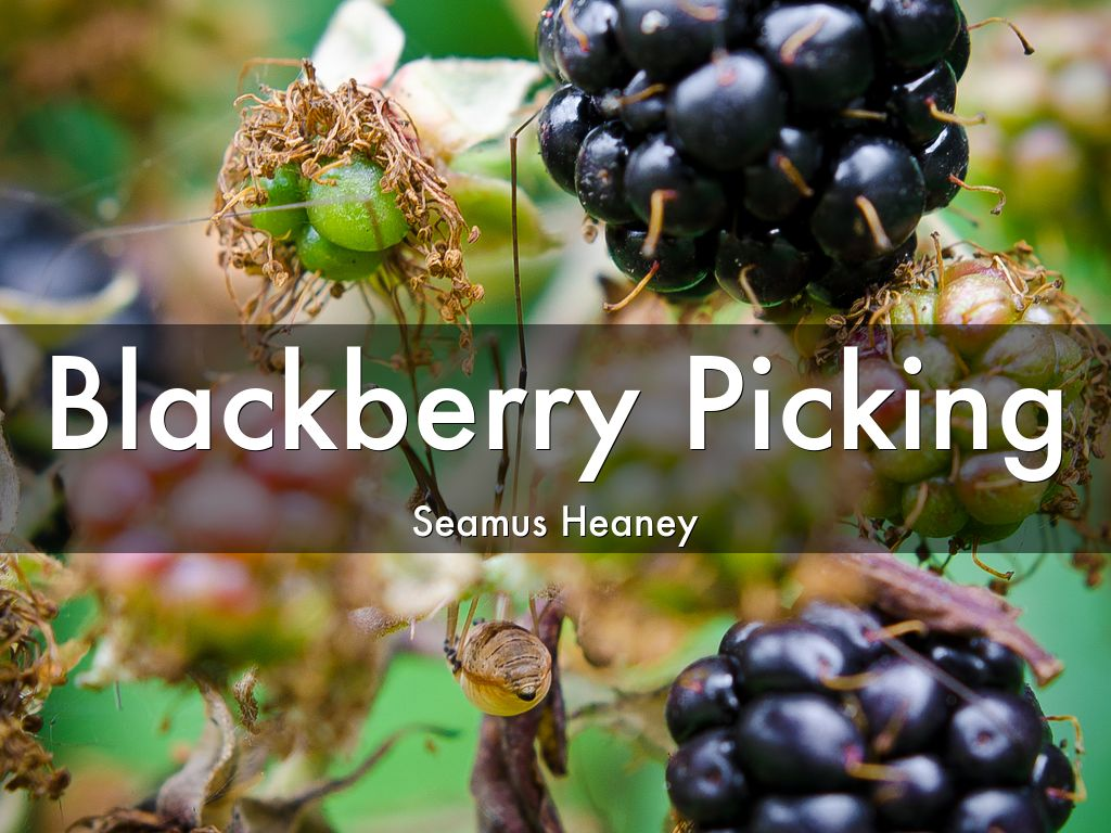 revealing the hidden meaning in the poem blackberry picking by seamus heaney - heany seems depressed and in this poem he seems to be looking back at a memory -(stanza1:line1) in line 2 and 3 heany seems to be describing the berries and the brevity of the berriesfrom a bud then developing to an actual berry when time and weather is right.